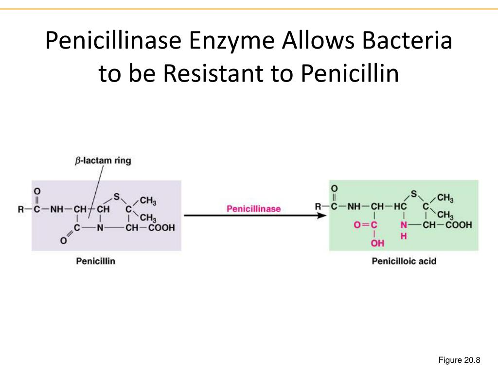 Penicillinase Enzyme Allows Bacteria to be Resistant to Penicillin