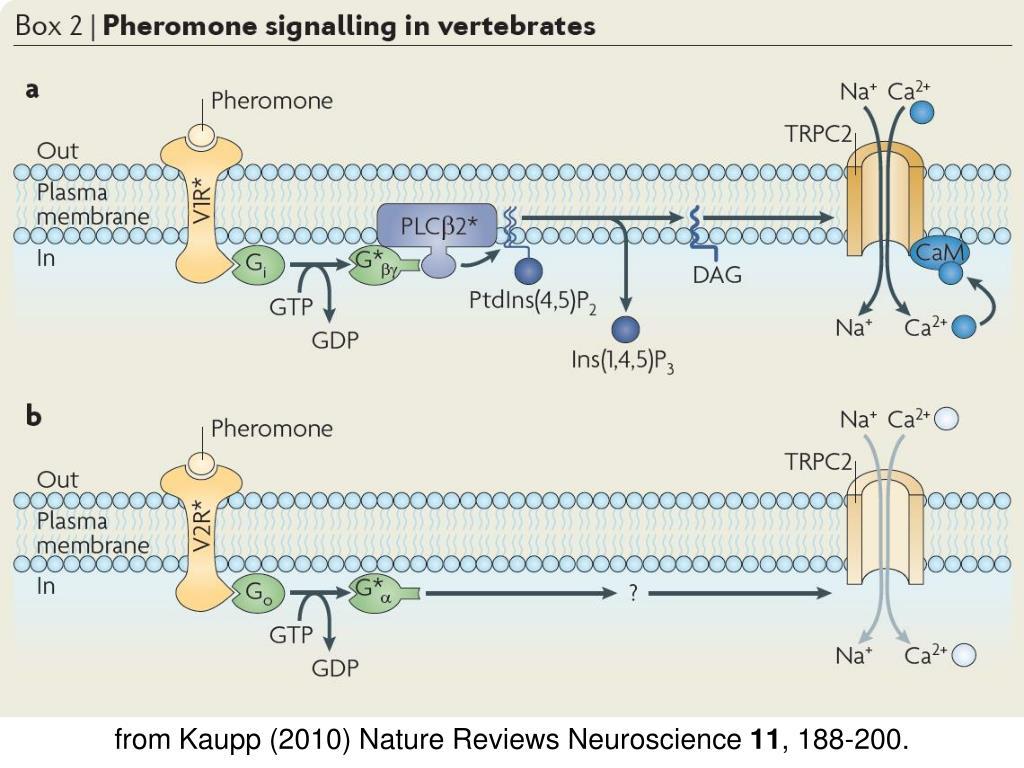 from Kaupp (2010) Nature Reviews Neuroscience