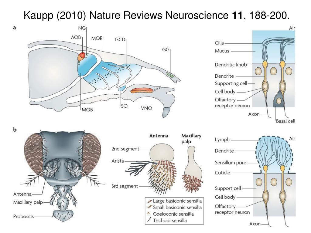 Kaupp (2010) Nature Reviews Neuroscience