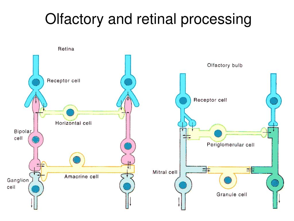 Olfactory and retinal processing