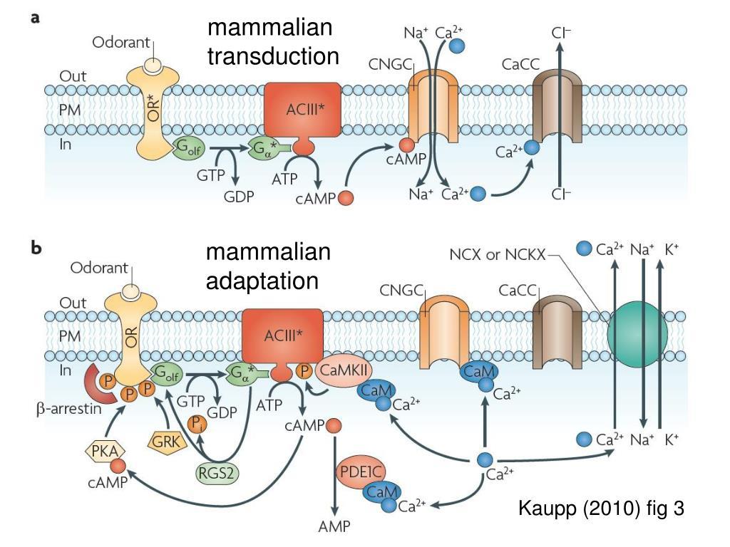 mammalian transduction