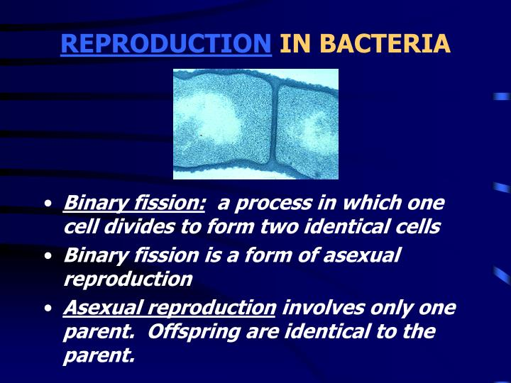 in bacterial cells binary fission involves __________