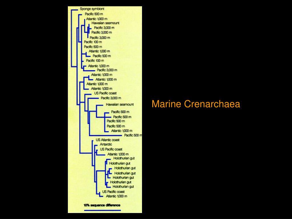Marine Crenarchaea