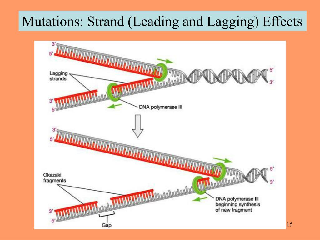 Mutations: Strand (Leading and Lagging) Effects