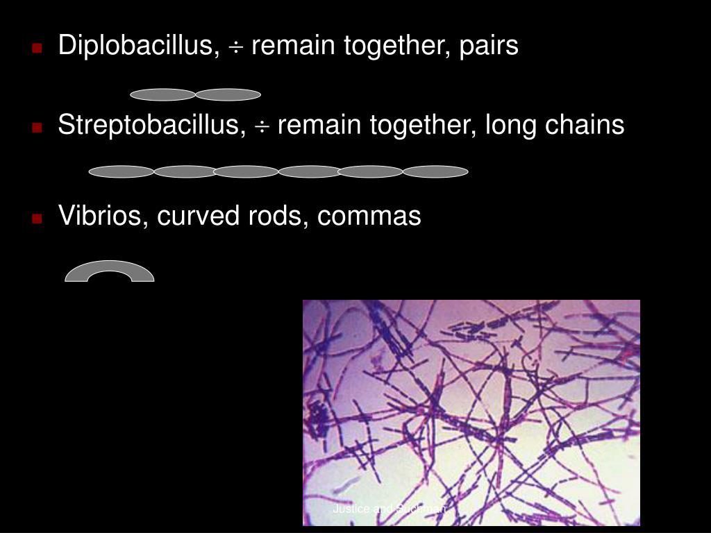 Diplobacillus,