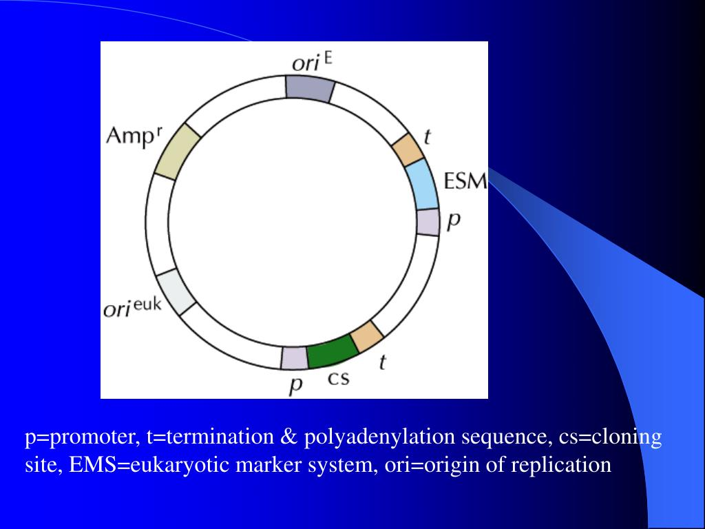 p=promoter, t=termination & polyadenylation sequence, cs=cloning site, EMS=eukaryotic marker system, ori=origin of replication