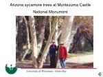 arizona sycamore trees at montezuma castle national monument