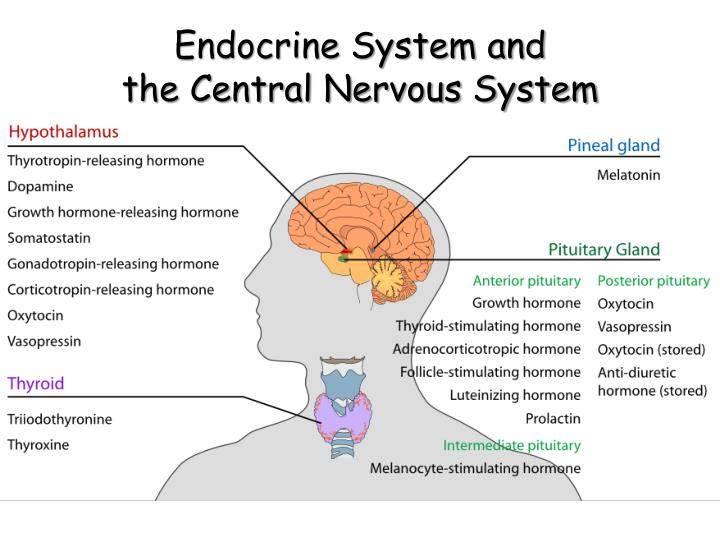 Endocrine system and the central nervous system
