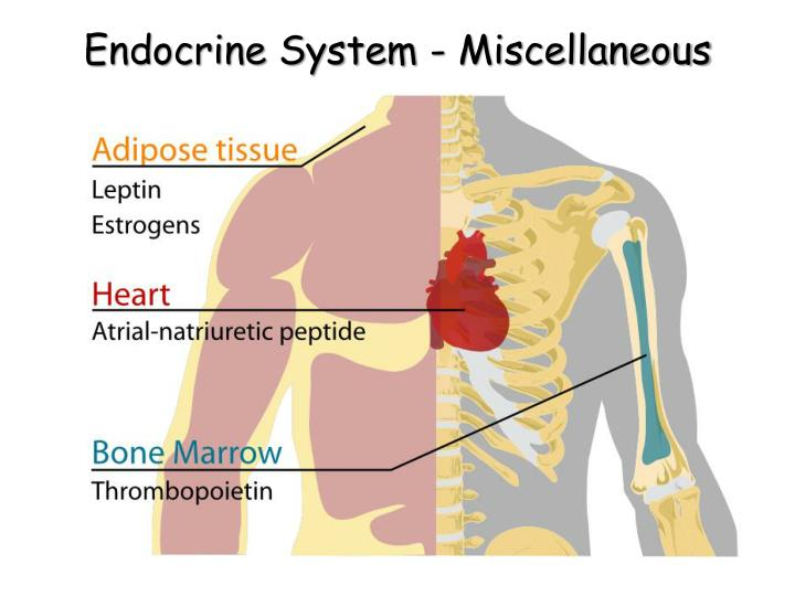 Ppt The Human Endocrine System Powerpoint Presentation Id272391
