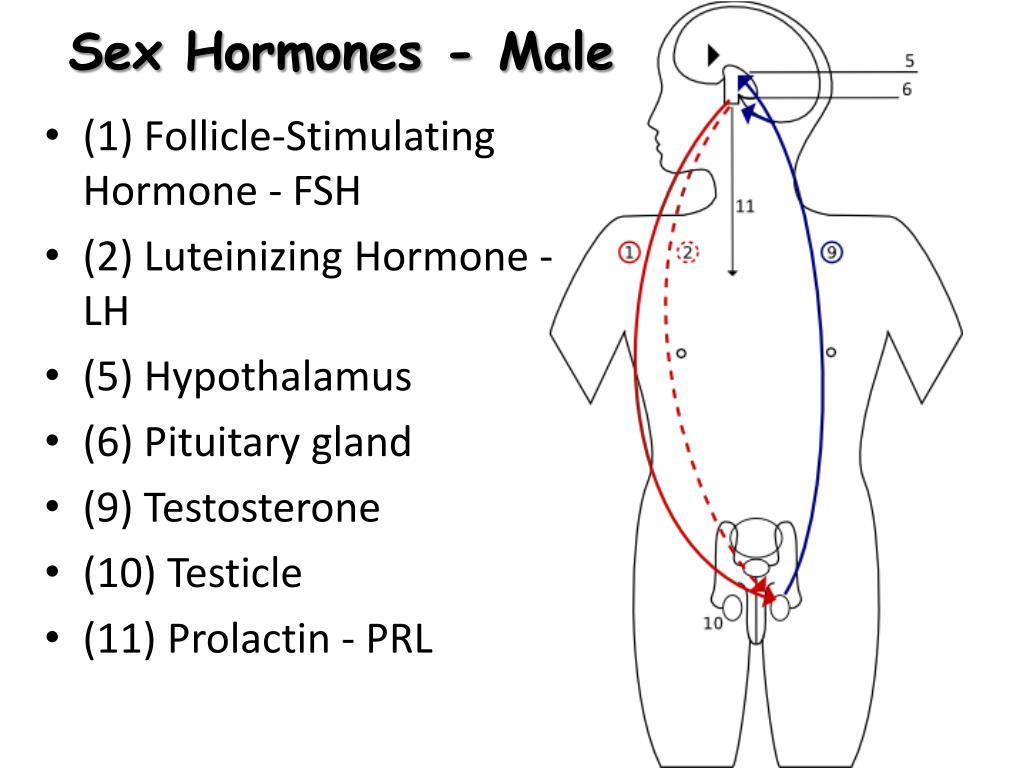 Sex Hormones - Male
