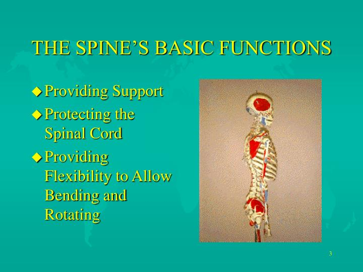 The spine s basic functions