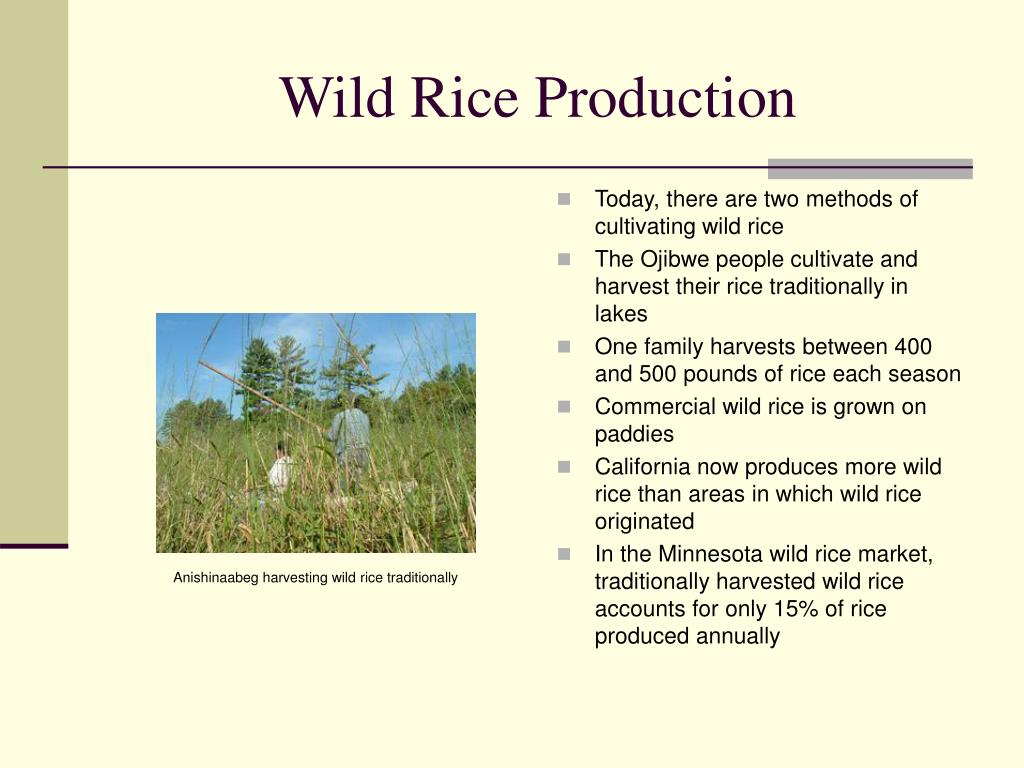Wild Rice Production
