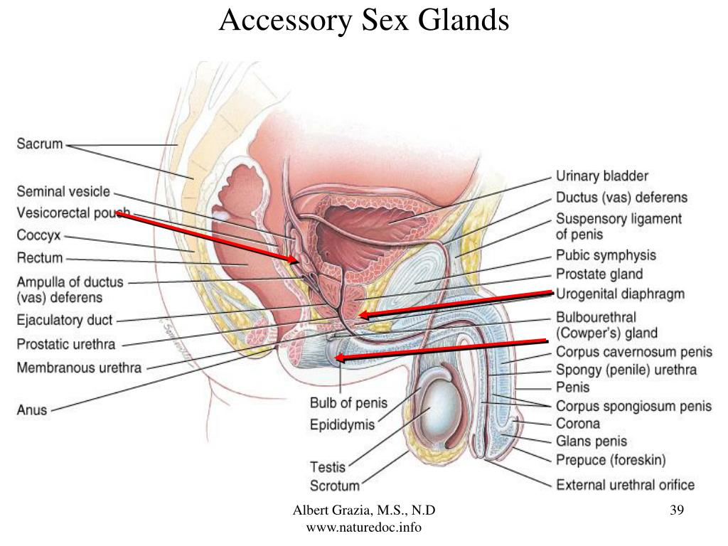 Accessory Sex Glands