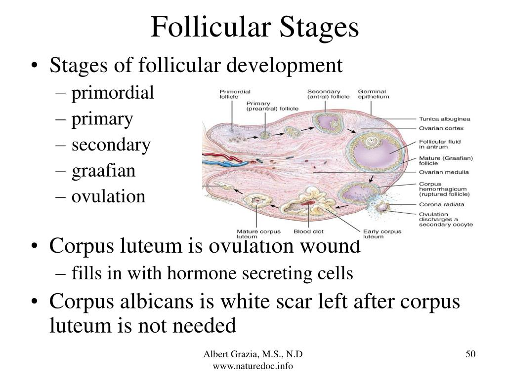 Follicular Stages