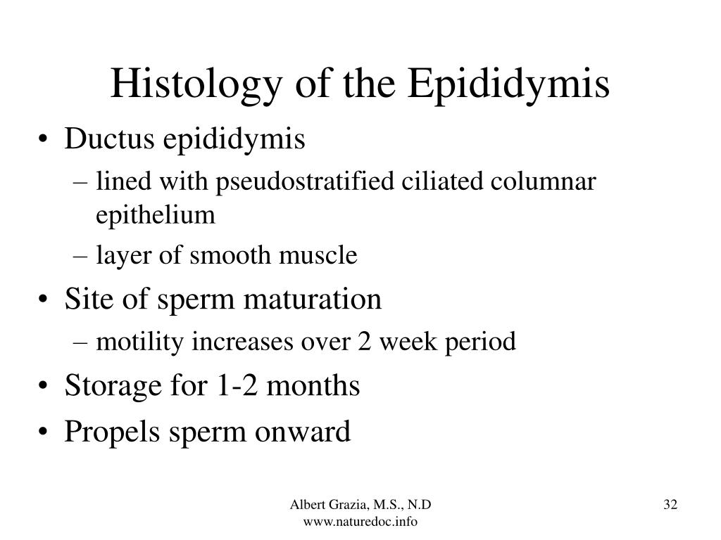 Histology of the Epididymis