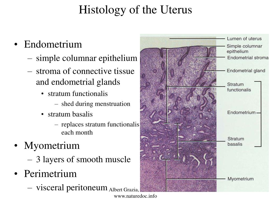 Histology of the Uterus