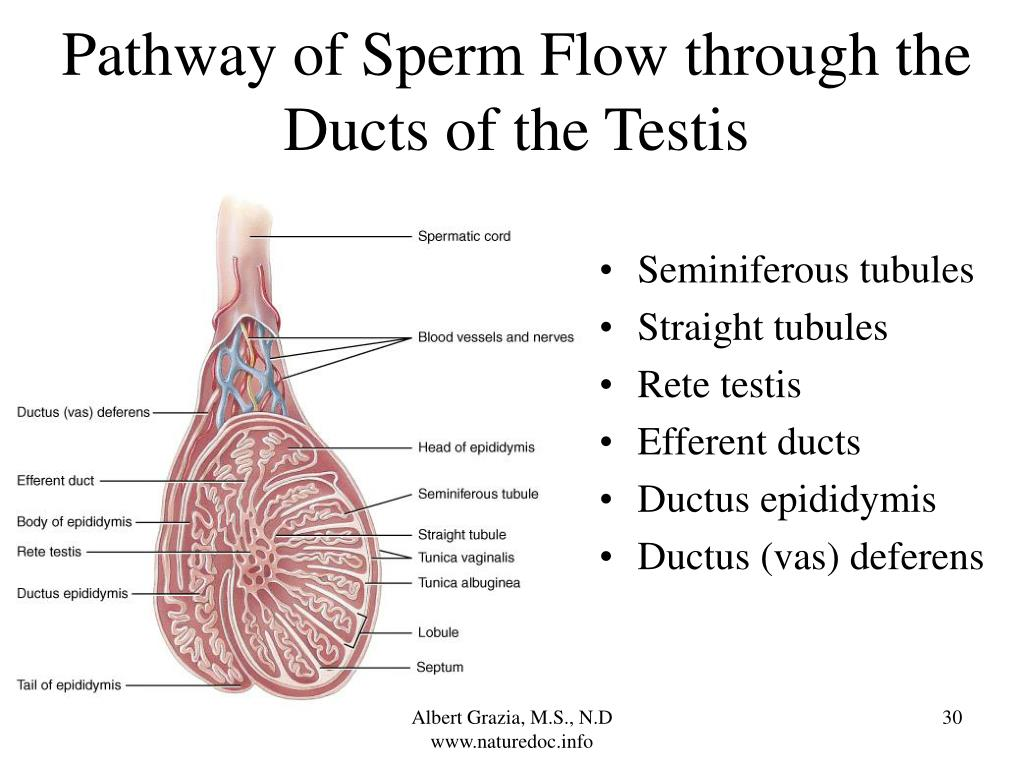 Pathway of Sperm Flow through the Ducts of the Testis