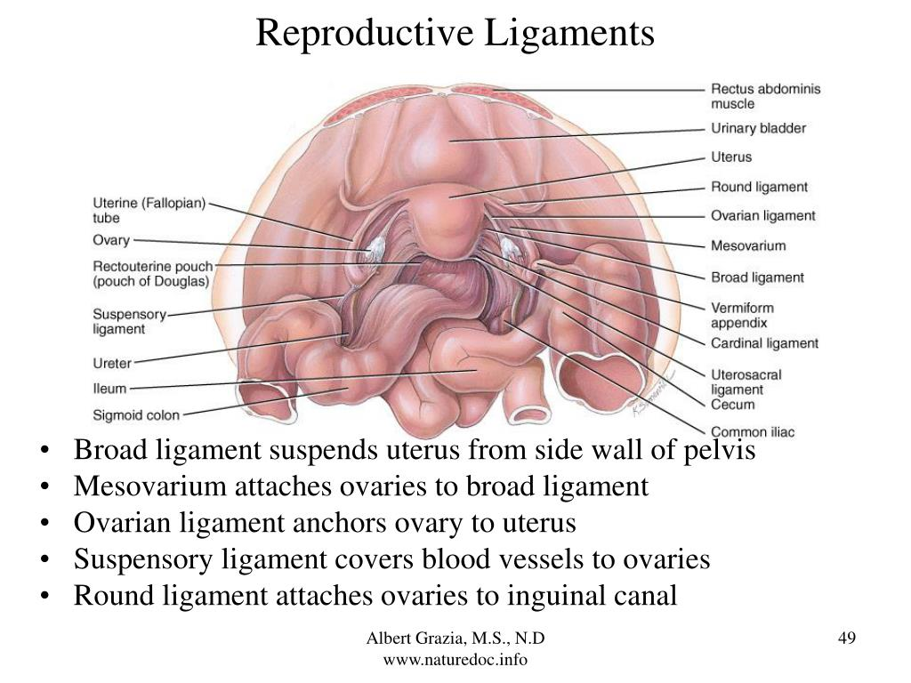 Reproductive Ligaments