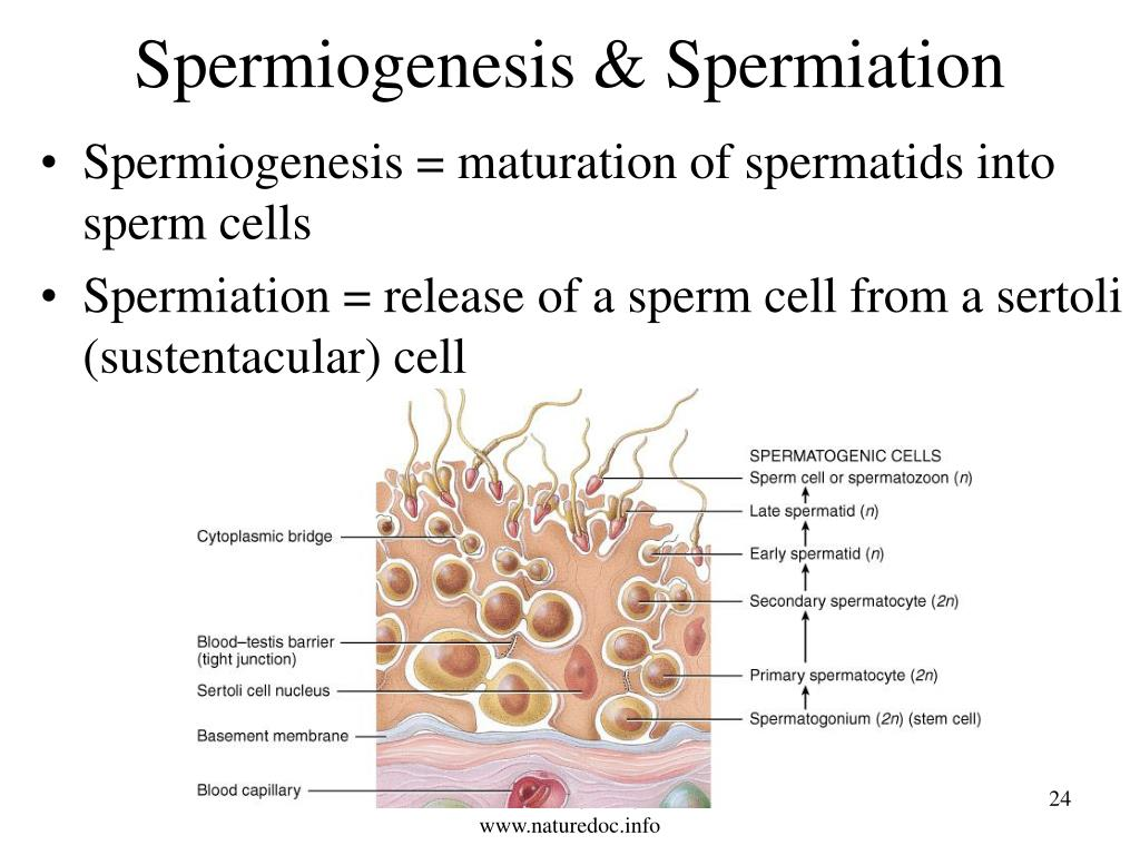 Spermiogenesis & Spermiation