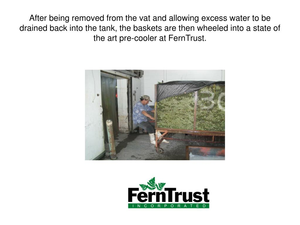 After being removed from the vat and allowing excess water to be drained back into the tank, the baskets are then wheeled into a state of the art pre-cooler at FernTrust.