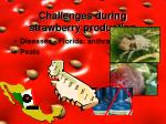 challenges during strawberry production