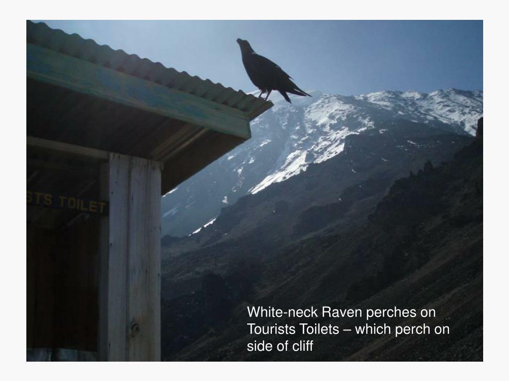 White-neck Raven perches on