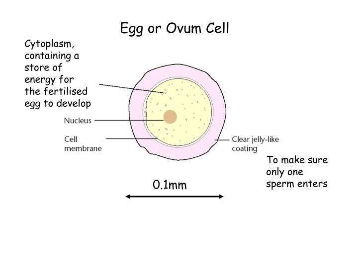 Egg or Ovum Cell