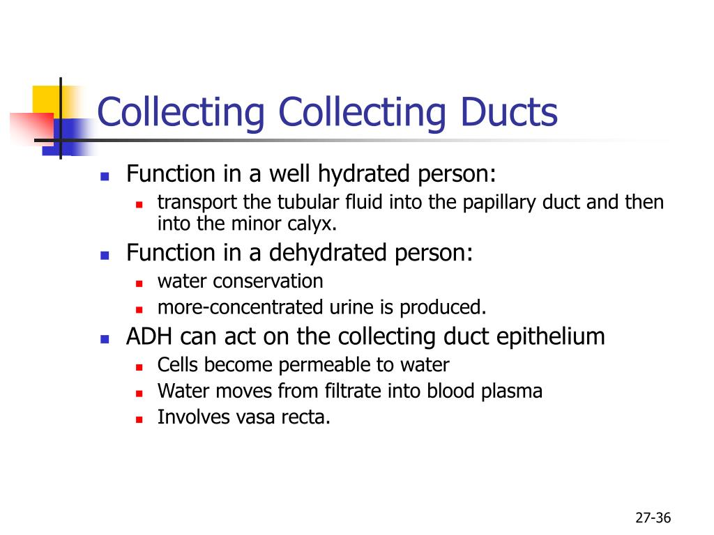 Collecting Collecting Ducts