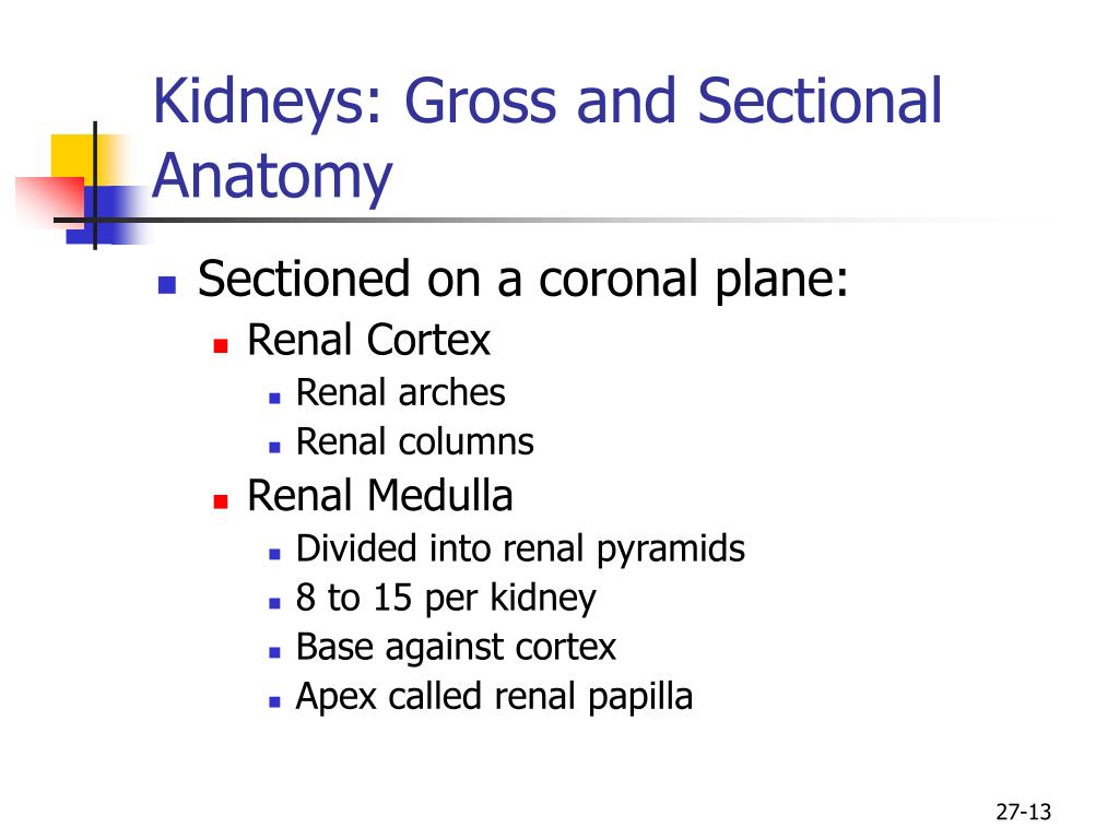 Kidneys: Gross and Sectional Anatomy