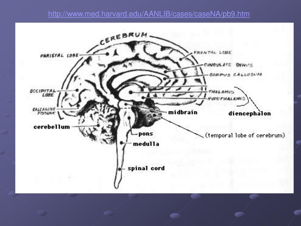 brain behavior relationships l.