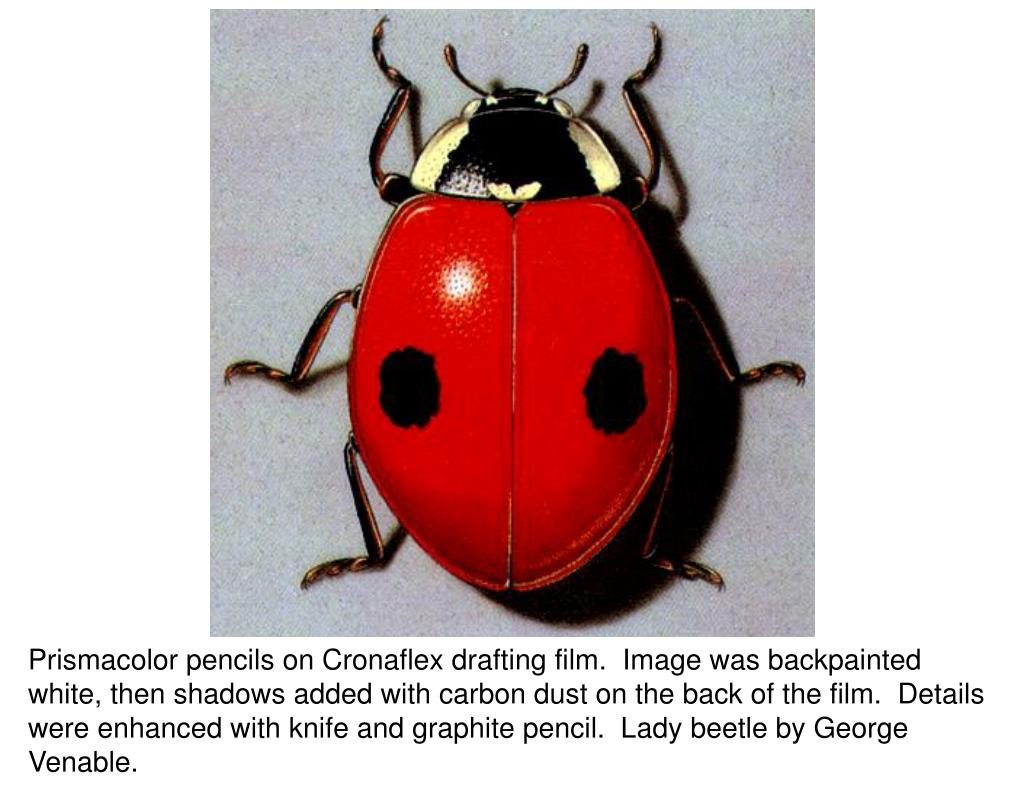 Prismacolor pencils on Cronaflex drafting film.  Image was backpainted white, then shadows added with carbon dust on the back of the film.  Details were enhanced with knife and graphite pencil.  Lady beetle by George Venable.