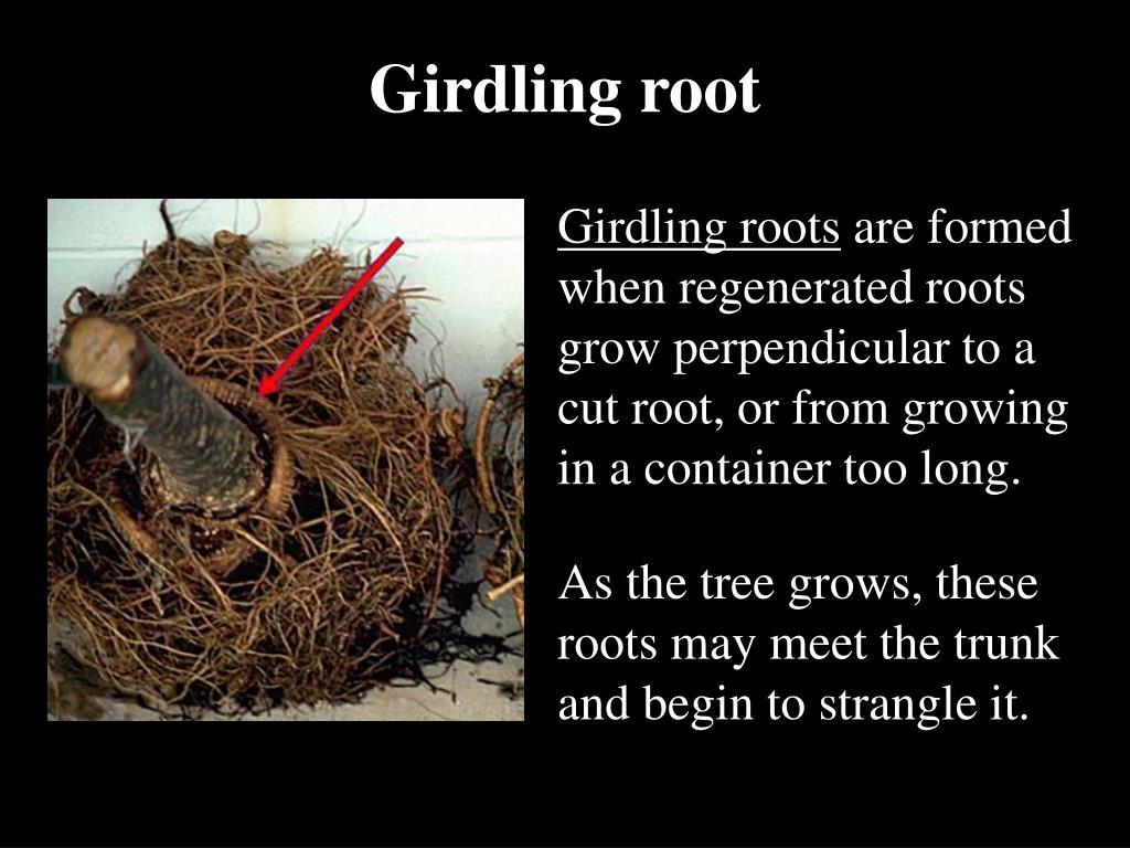 Girdling root