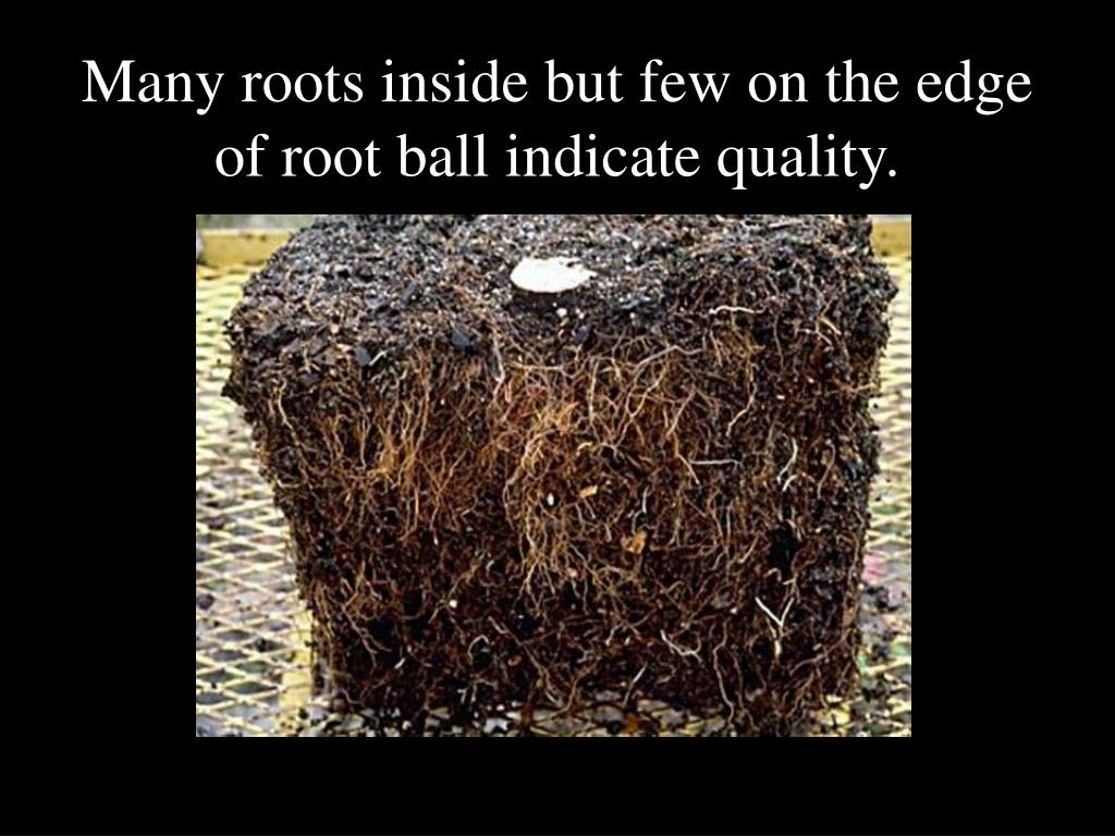 Many roots inside but few on the edge of root ball indicate quality.