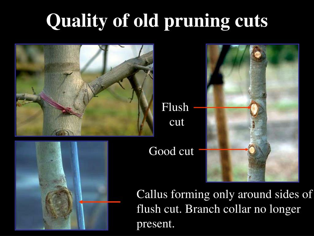 Quality of old pruning cuts