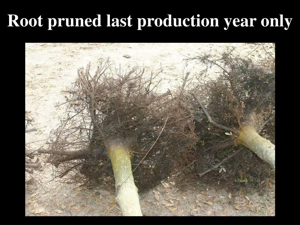 Root pruned last production year only