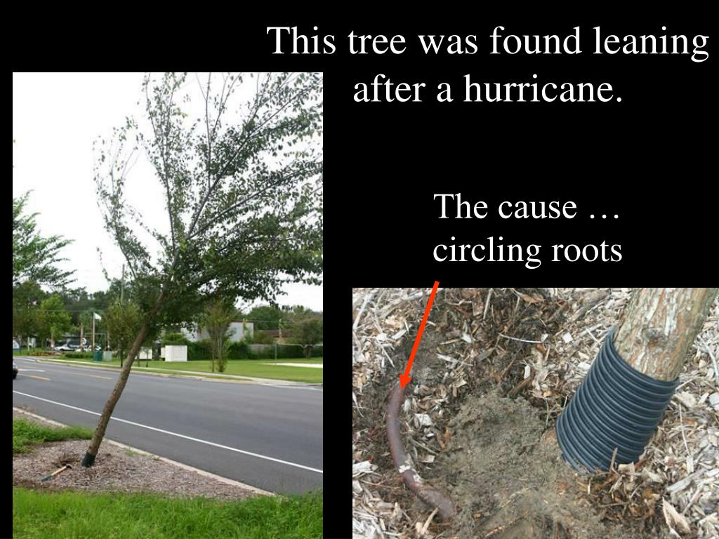 This tree was found leaning after a hurricane.