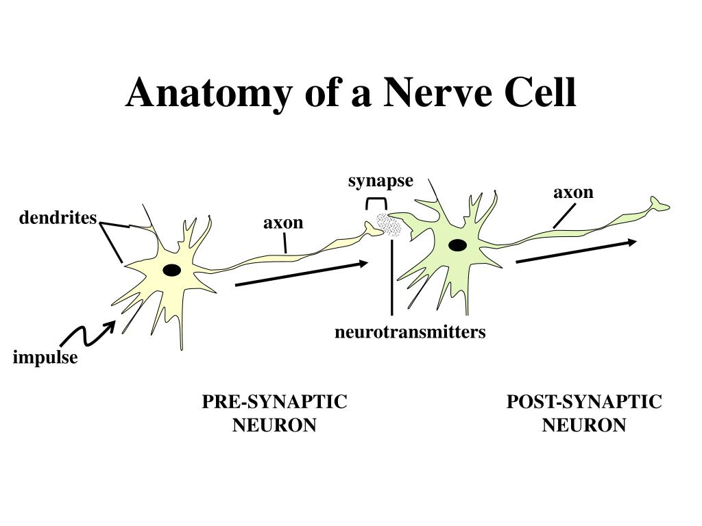 PPT - Anatomy of a Nerve Cell PowerPoint Presentation - ID:280400