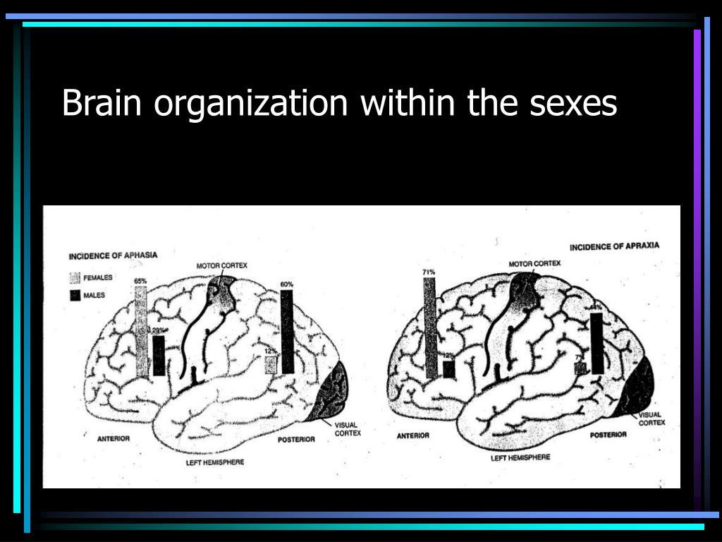 Brain organization within the sexes