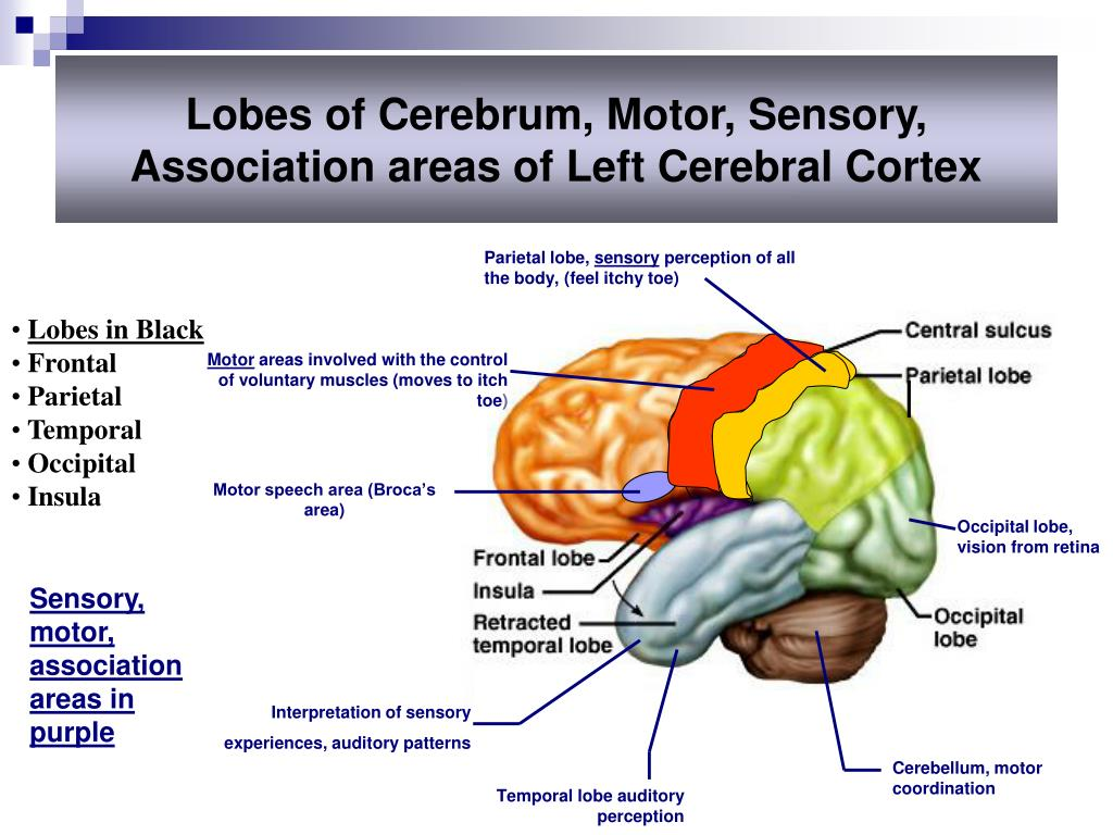 PPT - Central Nervous System PowerPoint Presentation, free ...