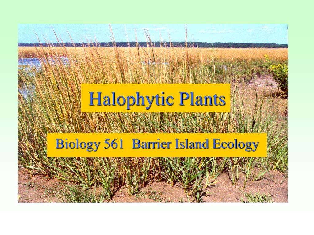 halophytic plants l.