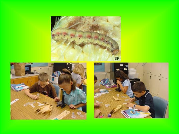 Corn earworm project