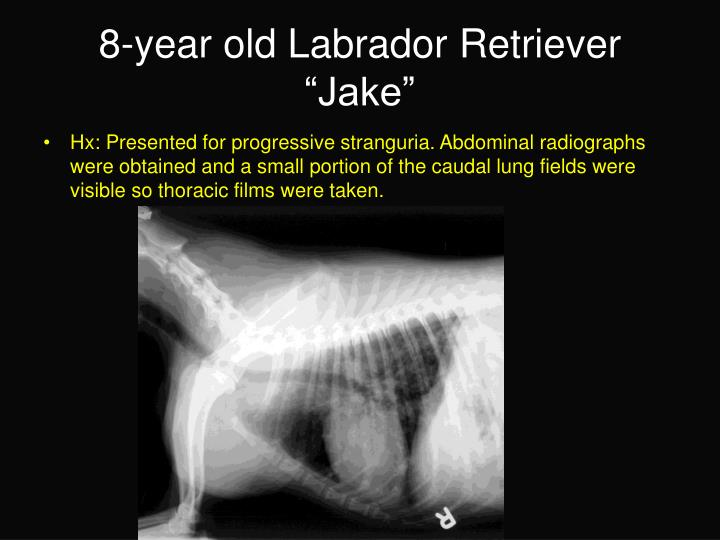 8 year old labrador retriever jake