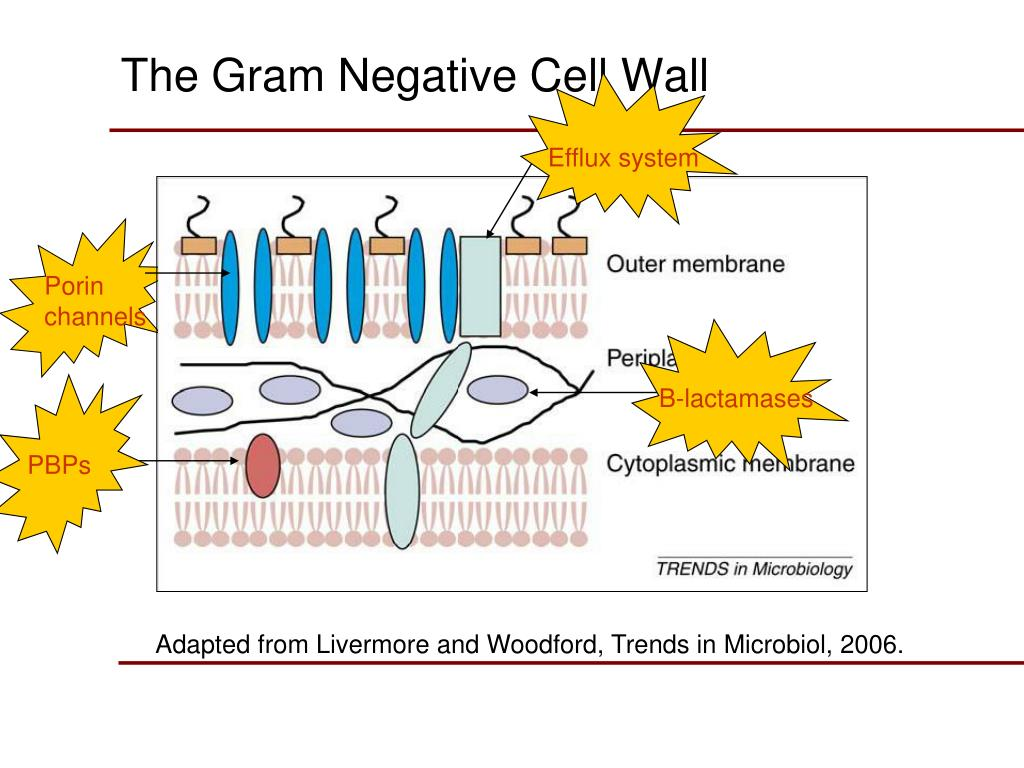 The Gram Negative Cell Wall