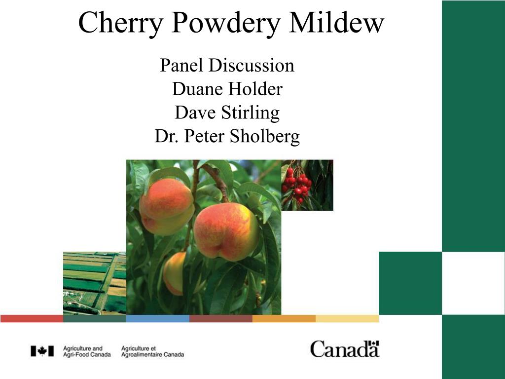 cherry powdery mildew l.