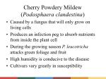 cherry powdery mildew podosphaera clandestina