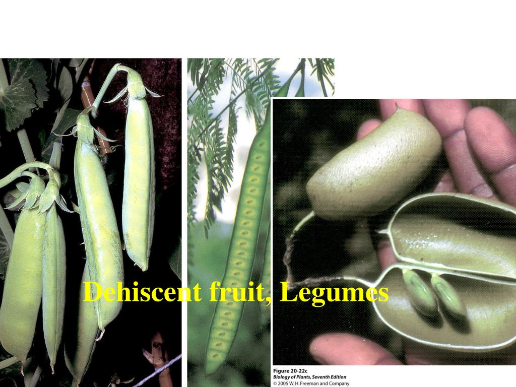 Dehiscent fruit, Legumes