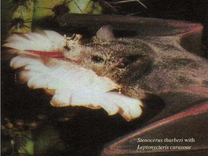 Stenocerus thurberi