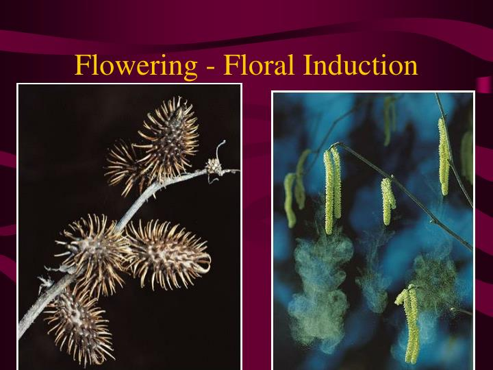 flowering floral induction n.