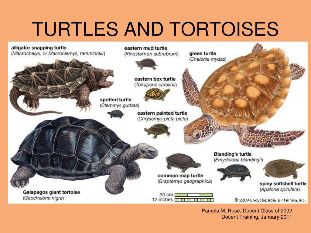 turtles and tortoises l.