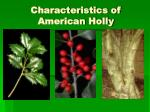 characteristics of american holly
